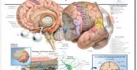 Cuadro anatomía cerebral
