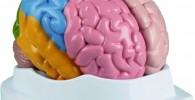 Cerebro anatómico para regalar a psicólogo y psicología