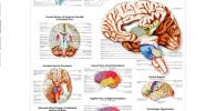 Póster anatómico de la anatomía del cerebro humano