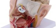 CUTICATE Modelo Anatómico de Cerebro Humano con Globo Ocular Removíbles Tamaño Natural Colección Exhibición MaterialDidáctico