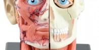 LTLGHY Cráneo Humano - Cabeza Humana Desmontable Cráneo Anatomía del Cerebro Modelo Anatómico Rompecabezas De Juguete - Ayuda para Capacitación En Educación Médica, Laboratorio